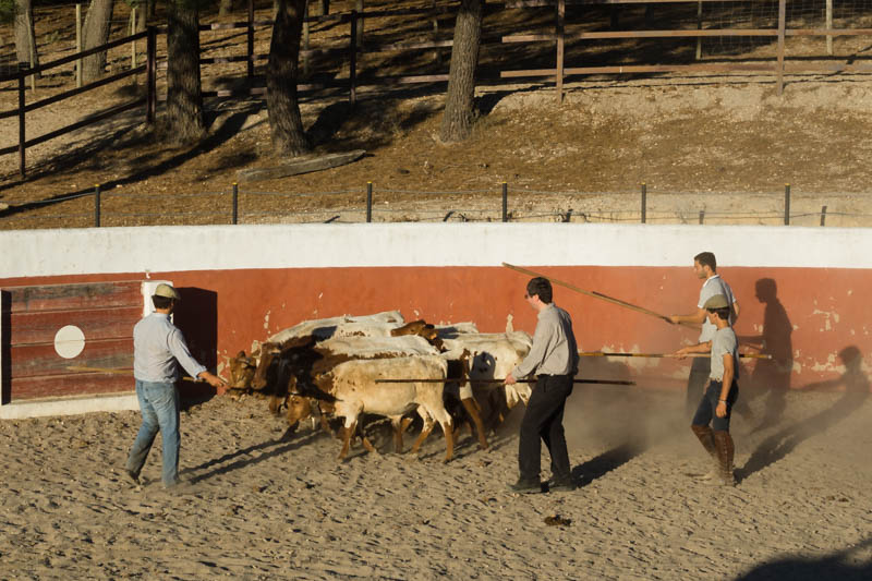 DSC08174 Portugal's Cowboys and the bravery of Forcados