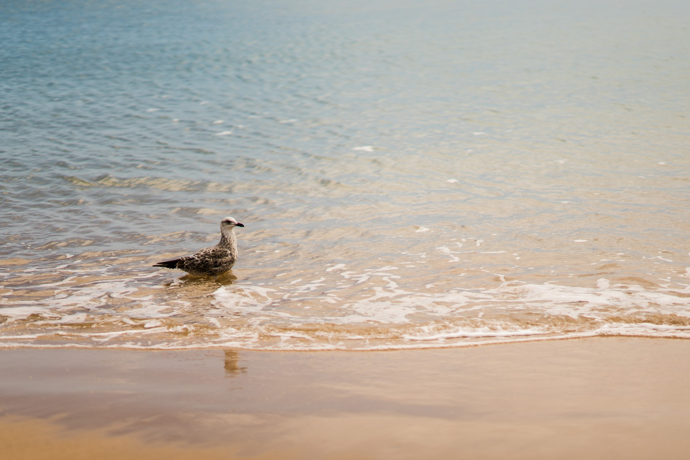 The life of a Seagull